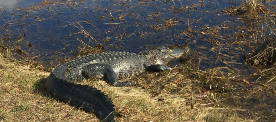 The American Alligator is perhaps the best-known denizen of the Everglades.